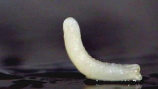 Огуречный цепень. Кошачий глист-паразит. Cucumber Tenderness -Cat's worm-parasite.