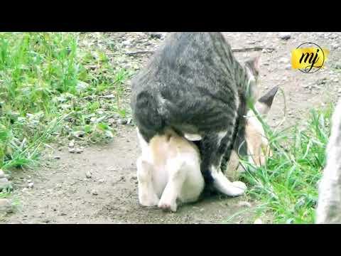 Langka ! Video Kucing Kawin Full Dari Awal Sampai Akhir