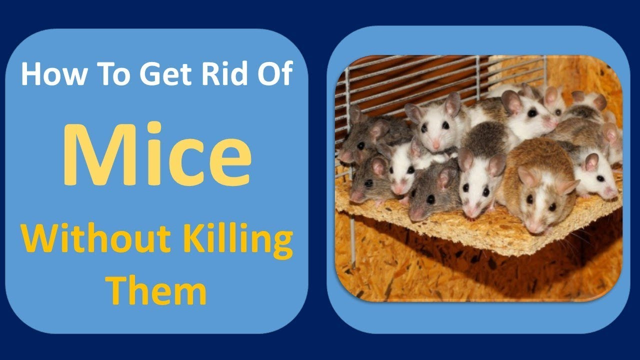 How to get rid of mice without killing them ammonia clove oil how to get rid of mice without killing them ammonia clove oil home remedy ccuart Images