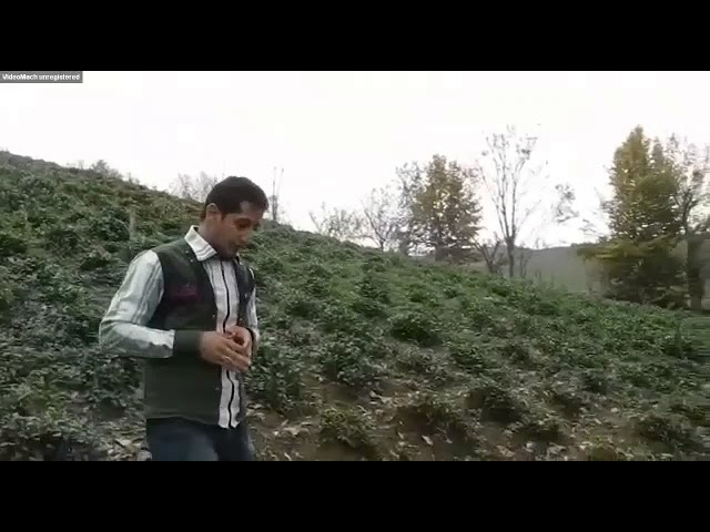 کاشت چای لاهیجان و سیاهکل احمد جنتی لشکریانی