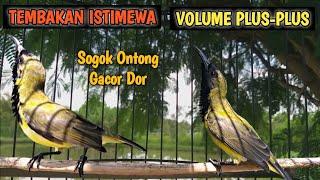 Sogon Gacor TEMBAKAN ISTIMEWA Volume Plus-Plus