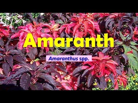 Amaranthus Spp, Amaranth, Love-lies-bleeding, Joseph's Coat, Prince's Feather