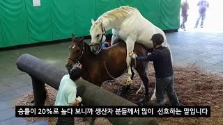말교배 관람방법 안내 .한국최고의 경주마 교배장면 설명 $15million stallion Menifee