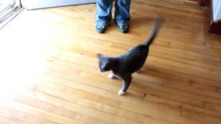 Cat chasing Laser...Little Harper is mad