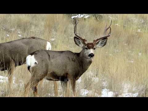 Big Mule Deer Buck + Small Buck Grazing Along !
