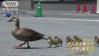 テレ朝にカルガモ親子 チョコチョコ散歩に癒される(18/05/14) thumbnail