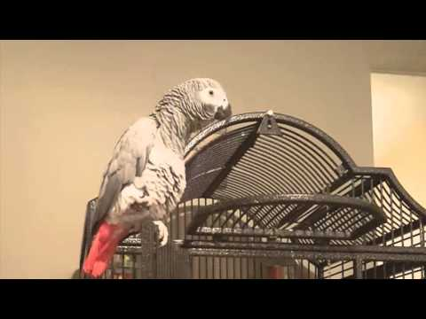 "Best Talking African Grey Parrot sings ""I'm in love with the Coco"""