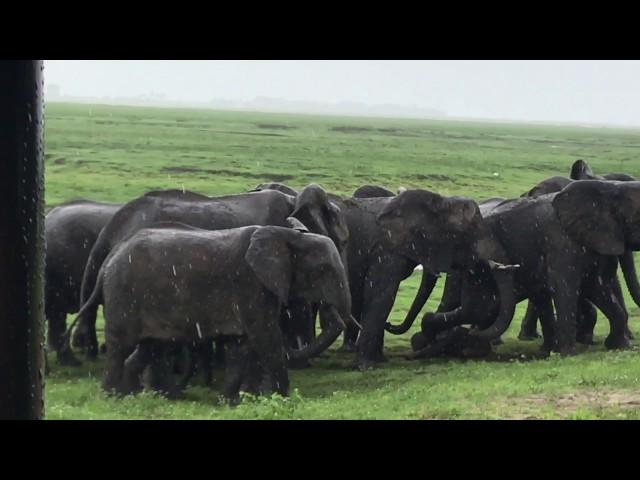 Un turista graba el parto de un elefante en un safari