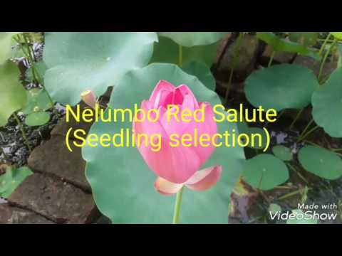 Lotus  Nelumbo Red Salute