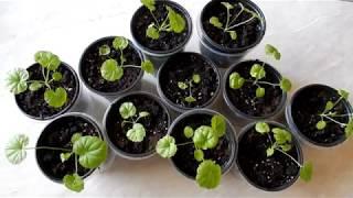 Семена из Китая  пеларгония пересадка в горшки уход за цветами