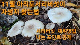 11월에도 서리버섯이 서리버섯 찾는방법 서리버섯채취비법…