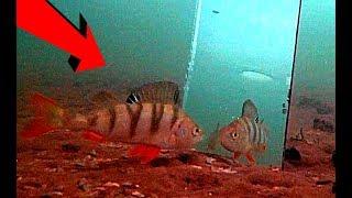 Окунь в ШОКЕ! Реакция рыбы на зеркало! Подводная съемка
