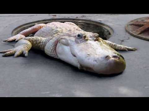 Gators Living in New York Sewers!