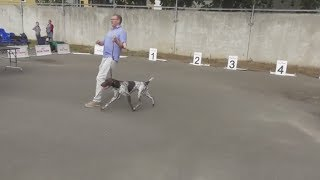 породы собак, Немецкий курцхаар, или немецкая короткошёрстная легавая