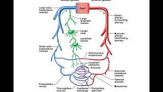 Chapter 19 Blood Vessels - Parts A and B
