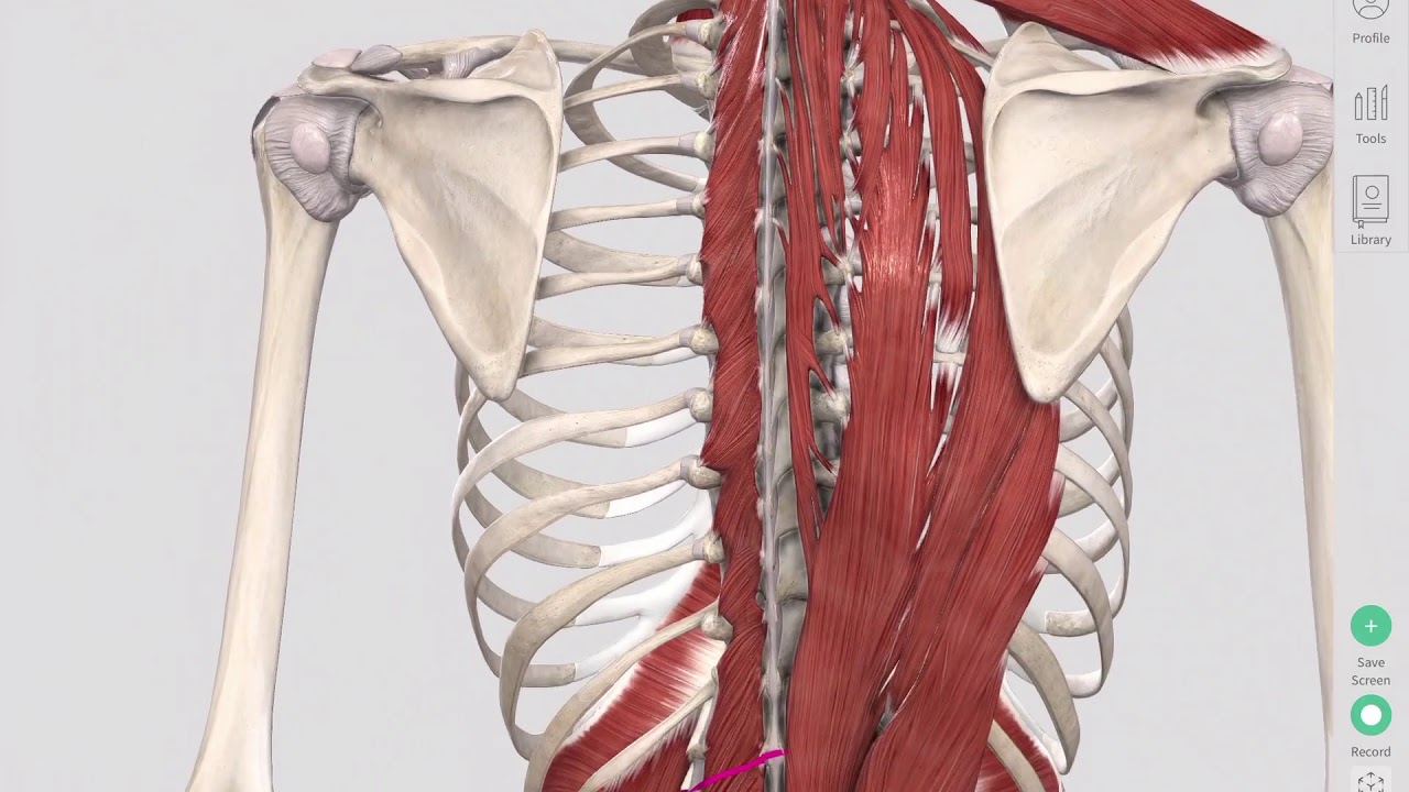 Deep Spinal Muscles Yoga Anatomy - YouTube