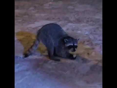 Trash panda listening to jazz and eating half a bagel.