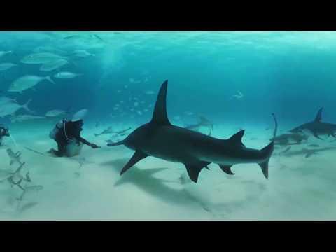 360º: Tubarões Nadam Com Mergulhadores No Caribe (em Inglês)