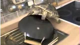 Черепаха и кастрюля