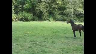 cheval à vendre 4 ans mâle diamant souche itôt du château