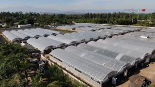 VIDEO: One of largest pot farms busted in Riverside worth $20M I ABC7 thumbnail