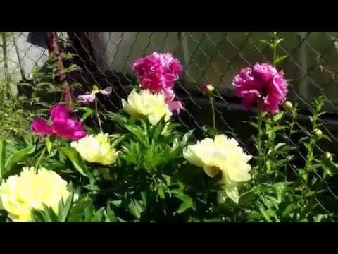 Желые пионы - роскошное зрелище