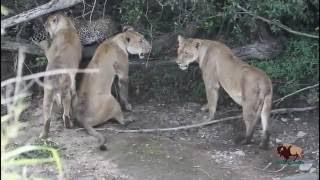 狂った動物はライオン対ハイエナ対ヒョウと戦う. 狂った動物はライオン...
