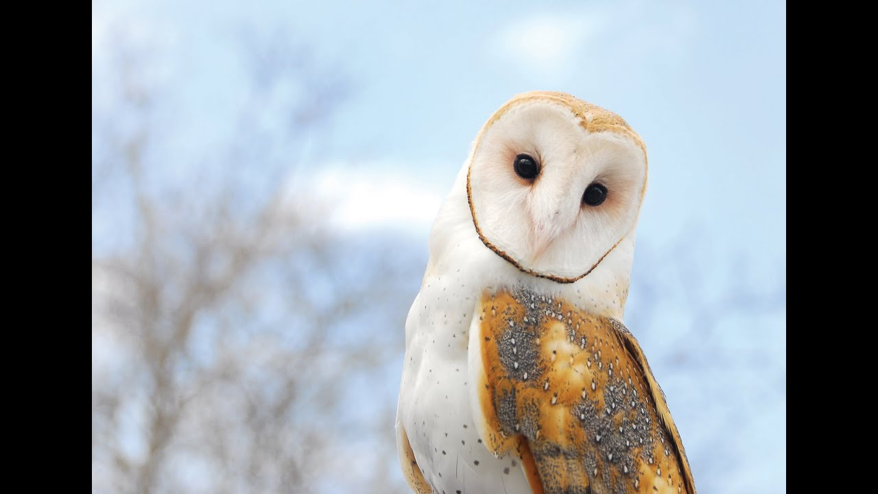 This Is All You Need To Know About Barn Owls - YouTube