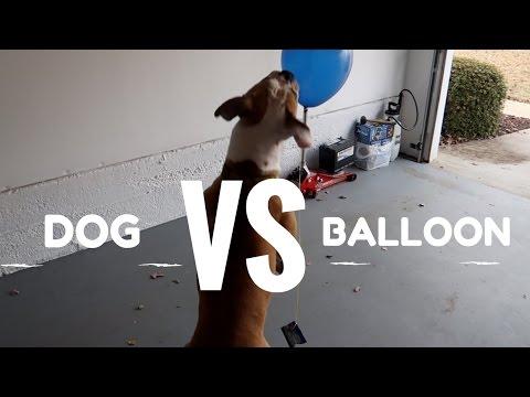 Dog VERSUS Balloon