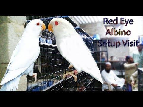 Albino Personata Setup Visit Of Nexus Birds