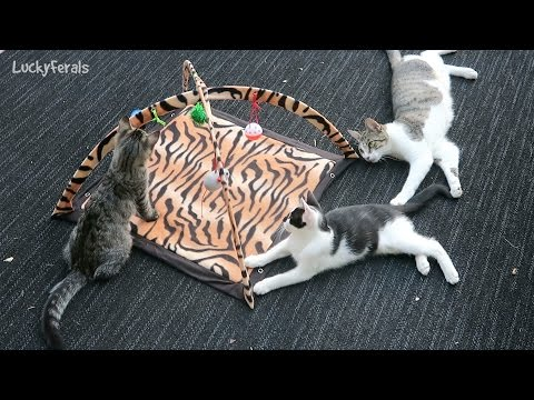 Feral Cats Experience A Cat Play Mat For The First Time