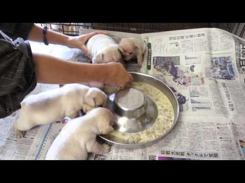 フレンチブルドッグのクリームの子犬 初めての離乳食 静岡県浜松市のブリーダー
