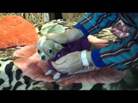 ❀✿Чихуахуа одевается гулять ❀✿ Chihuahua dressed for a walk❀✿из YouTube · С высокой четкостью · Длительность: 2 мин2 с  · Просмотры: более 1000 · отправлено: 24.09.2016 · кем отправлено: СУНДУЧОК от СВЕТЛАНЫ