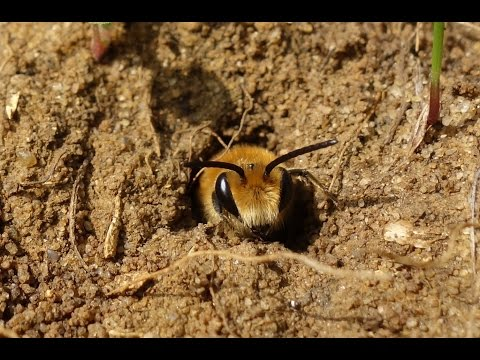 Observations at a large Ivy bee (Collletes hederae) nesting aggregation