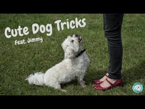 Cute dog tricks with Jimmy the Bichon Maltese - Fluffy Tufts