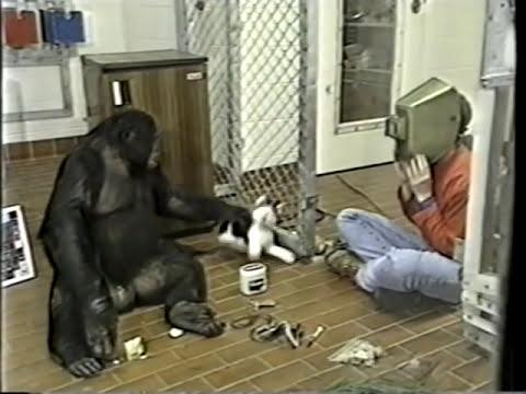 Kanzi - An Ape of Genius - Part 2.m4v