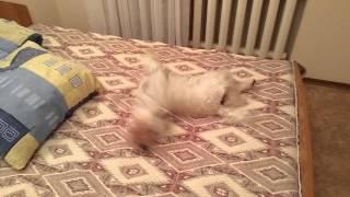 Собака   нормальная запись
