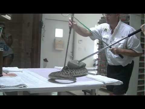 Eastern Diamondback Rattlesnake Venom Extraction