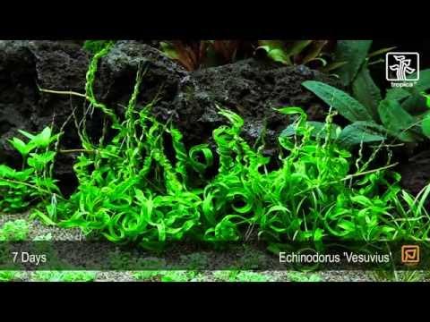 Helanthium 'Vesuvius' (previously called Echínodorus 'Vesuvius')
