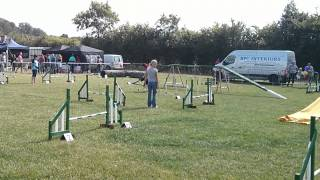 Pointer Dog Agility