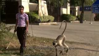 Langur attacks his owner!