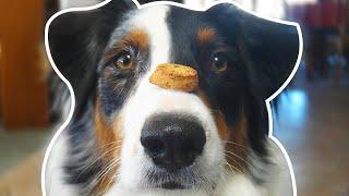 Australian Shepherd | Dogs 101