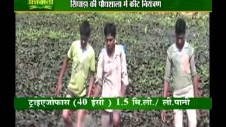 Know how to protect your singhara crops from pests