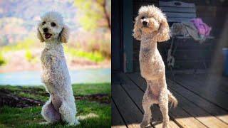 Rescued 2-Legged Poodle Hops Like a Kangaroo