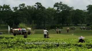 Tea workers with conical hat in Assam tea garden