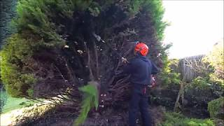 TAKING A CONIFER DOWN AND TAKING THE STUMP OUT
