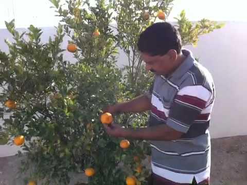 Orange tree at qatar