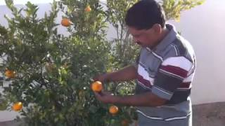 Orange tree at qatar