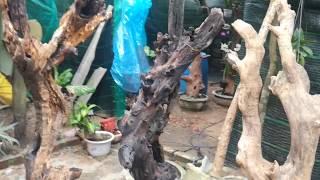 Gỗ lũa bonsai . Những điểm lưa ý khi gép phong lan