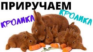 Как приучить кролика к рукам? Декоративный кролик боится рук, нападает?